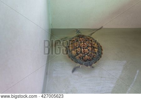 A Young Green Sea Turtle In A Small Water Enclosure At A Sanctuary On Kerachut Beach In Penang Malay