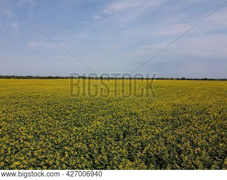 A Picturesque Field Of Sunflowers Under A Blue Sky, Aerial View. A Farm Field On A Hot Summer Day, L