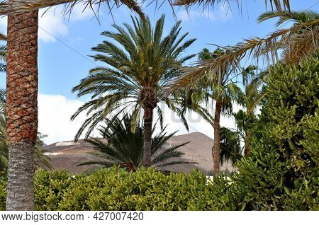 Palm Trees And Rtopic Vegetation And In The Background Behind Them Mountain Hills. Morro Jable, Fuer