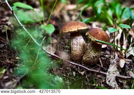 Two Young Birch Bolete Mushrooms Or Leccinum Scabrum Growing In A Forest
