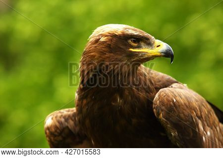 The Steppe Eagle (aquila Nipalensis) Up To Close. Steppe Eagle Portrait. Green Background.