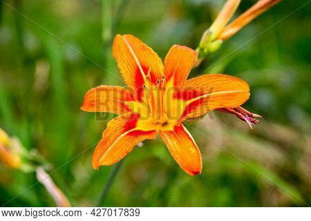 Yellow Lily Flowers (lat. Lílium) On A Background Of Green Leaves On A Clear Sunny Summer Day. Natur