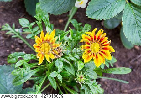 Gazania Rigens (latin Gazania Rigens) Or African Chamomile Is Yellow On A Clear Sunny Summer Day. Na