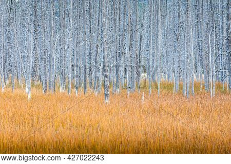 Natural Landscape Of Drought Heat Zone Of Grey Dead Trees With Orange Grass Field In Yellowstone Nat