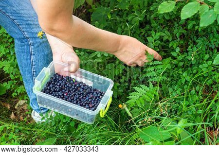 Picking Blueberries In The Forest Grass. Close-up Of Woman Hand Picking Berries