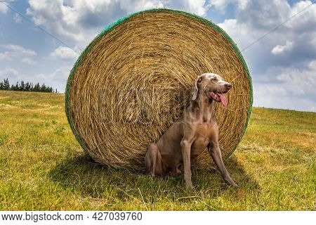 Weimaraner Sits By A Bale Of Straw. Hot Summer Day On A Pasture In The Czech Republic. Hound.