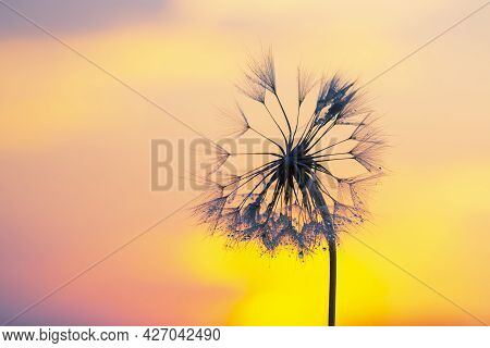 Dandelion Flower In Bright Backlight With Drops Of Morning Dew. Nature And Floral Botany