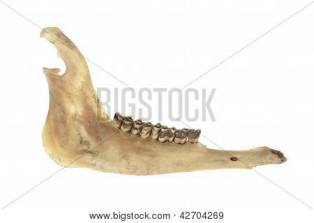 Deer Jawbone