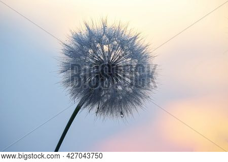 Dandelion In Backlight With Morning Dew Drops. Nature And Floral Botany
