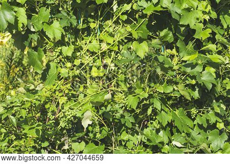 Growing Different Varieties Of Grapes In Your Garden, Several Bushes With Clusters Of Young Green Gr