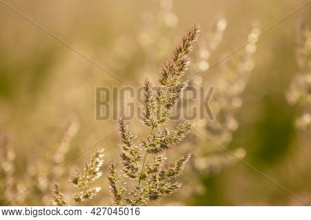 Field Grass And Flowers In Bright Backlighting Sunlight. Nature And Floral Botany