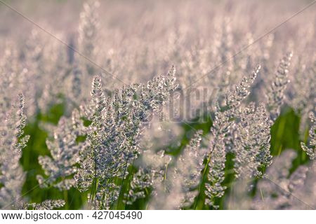 Field Grass And Flowers In Backlight. Nature And Floral Botany