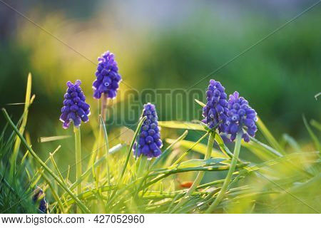 flowers hyacinths in the autumn flowerbed