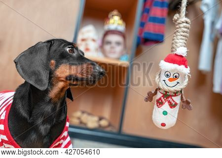 Cute Dachshund Puppy Plays Strangely With A Soft Toy In The Shape Of Snowman - He Hung It On Gallows