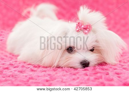 pedigree purebred cute maltese dog poster