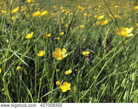 A Large Field With Yellow Small Buttercup Flowers