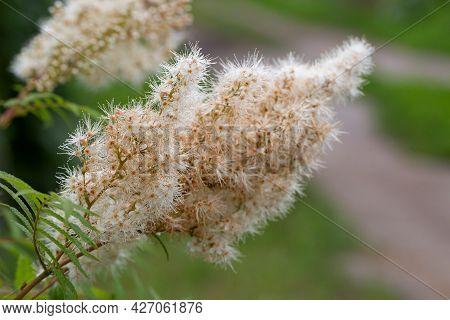 Mountain Ash, Rowan-leaved Spirea Or Sorbaria Sorbifolia Is Beautifully Blooming On A Natral Backgro