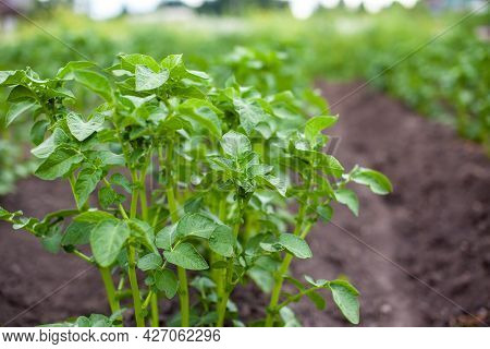 Rows Of Potatoes In The Home Garden. Preparation For Harvesting. Potato Plants In Rows On A Kitcheng