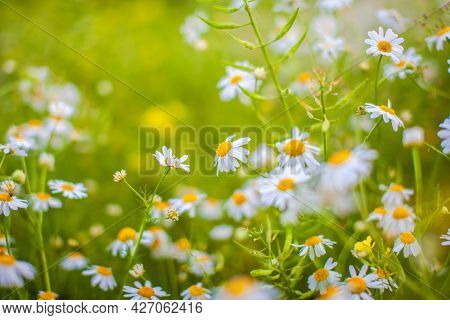 Beautiful Background Of Many Blooming Daisies Field. Chamomile Grass Close-up. Beautiful Meadow In S