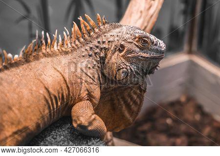 Close-up Portrait Of  An Orange Colored Male Green Iguana (iguana Iguana)  Also Known As The America