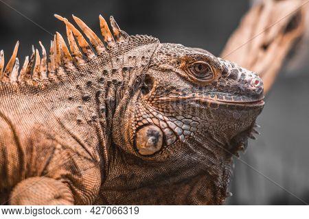Close-up Portrait Of  An Orange Colored Male Green Iguana (iguana Iguana).