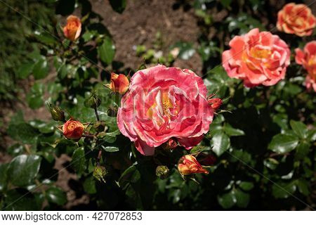 Image Of A Gentle Pink And Yellow Rose With Green Leaves In Rome, Italy