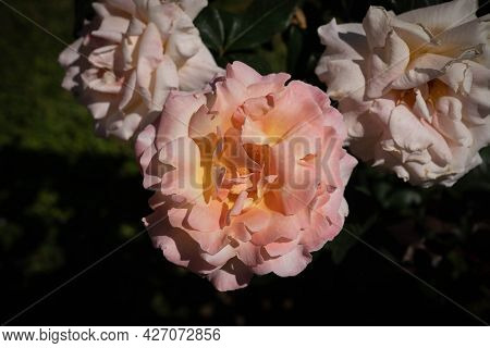 Image Of Tender Pink Rose With Green Leaves In Rome In Italy