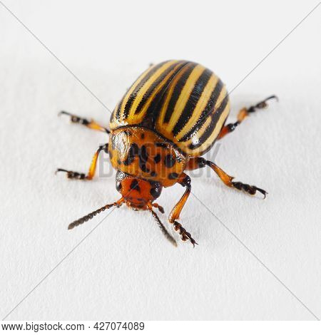 One Colorado Beetle On A White Paper Surface Close-up. Not Isolated. Bright Square Illustration Abou