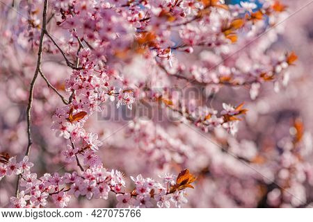 Beautiful Spring Nature Scene With Pink Blooming Tree. Closeup Of Spring Pastel Blooming Flower In O