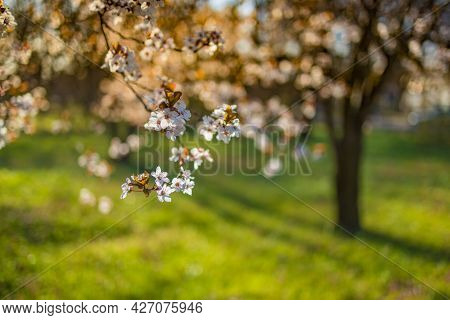 Blooming Cherry Blossom Tree Garden In Spring. Beautiful Nature Scene With Blooming Tree And Sun Fla