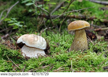 Two Young Wild Mushrooms That Are Often Confused With Each Other Grow In The Forest. On The Left Is
