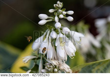 A Bees Flies To Collect Nectar From White Flowers Hosta In The Summer Garden