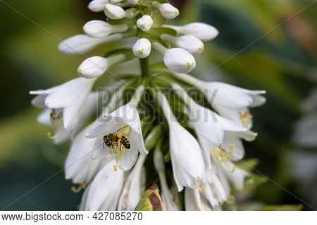 A Bee Collect Nectar From White Flowers Hosta In The Summer Garden