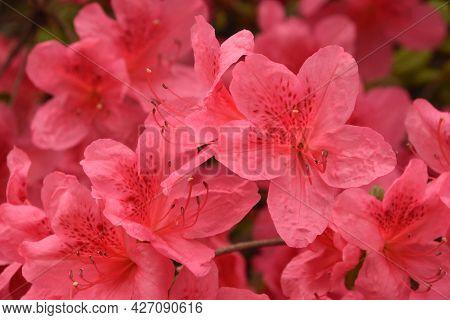 Beautiful Looking Flowering Pink Azalea Bush In The Spring.