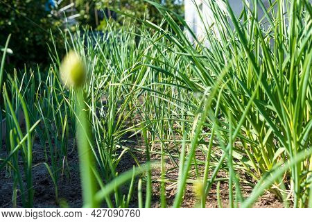 Growing Green Garlic Out Of The Ground With Space To Copy Text. Agricultural Industry. Static Camera