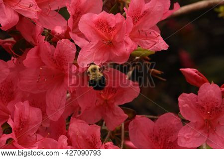 Pink Flowering Azalea Bush With A Bumble Bee.