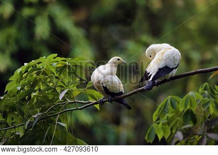 The Pied Imperial Pigeon (ducula Bicolor), A Pair Of Large Black And White Asian Pigeons On A Tree.