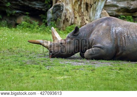The Head With Horn Of Black Rhinoceros Or Hook-lipped Rhino (diceros Bicornis) With Big Horns In Cap