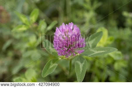 Macro Of Blooming Clover With Pink Blossom Close Up Pink Clover Flower On Summer Green Meadow