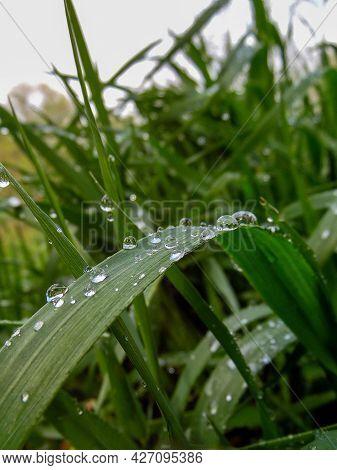 Raindrops On High Grass, Close - Up