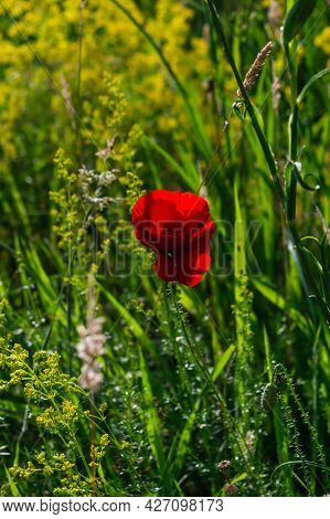 Vertical Image A Field Poppy Blooming In A Meadow Lit By The Afternoon Sun