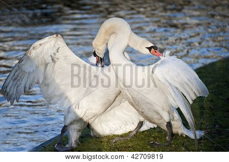 Aggressive and tender mute swan behaviour during mating ritual poster