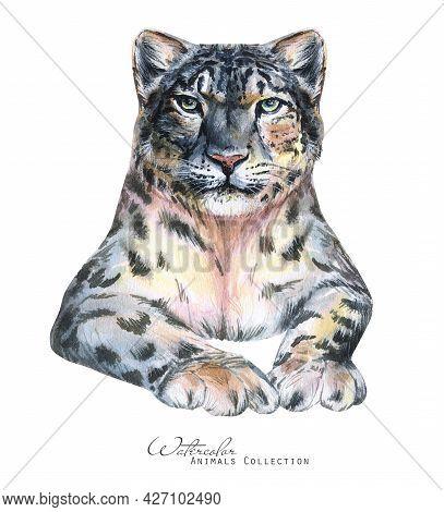 Snow Leopard Watercolor Illustration. Snow Leopard Portrait