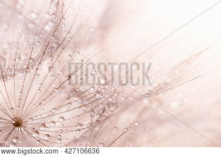 Macro Nature Abstract Background. Beautiful Dew Drops On Dandelion Seed Macro. Soft Background. Wate