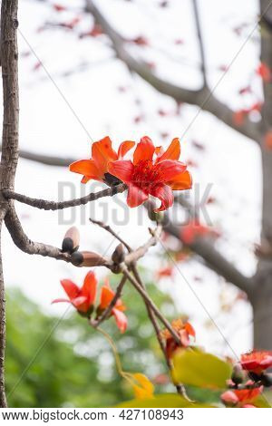 Blooming Bombax Ceiba Or Red Cotton At Vertical Composition