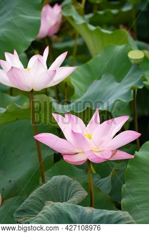 Blooming Lotus Flowers At A Vertical Composition