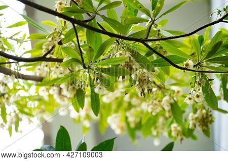 Beautiful Blooming Elaeocarpus Sylvestris Or Elaeocarpus Decipiens