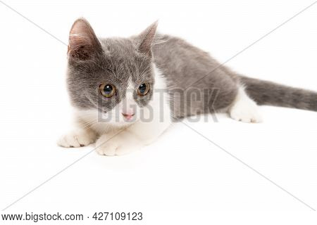 A Young British Shorthair Cat On White Background