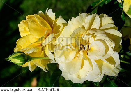 Close Up Of Two Large And Delicate Vivid Yellow Roses In Full Bloom In A Summer Garden, In Direct Su