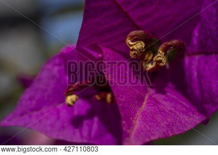 Macro Closeup Magenta Bougainvillea Flower. Beautiful Bougainvillea Flower In Tropical Garden. Flora